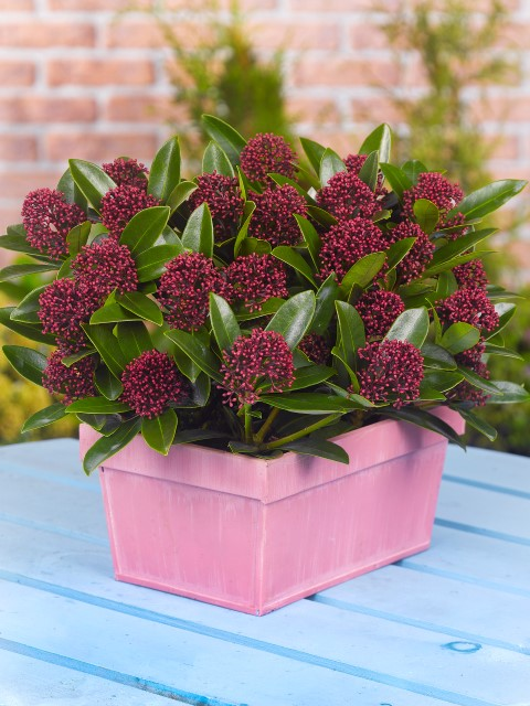 Skimmia japonica 'Moerings 2'